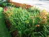 watsonia-dietes-hemeracallis-agapanthus-mix
