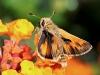 Fiery Skipper Moth (Male)