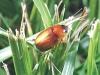 Masked Chaffer Beetle