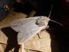 Mythimna Unipuncta Moth