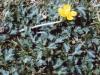 buttercup-02.jpg