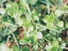 chickweed-common-01.jpg