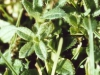 chickweed-mouseear-01.jpg