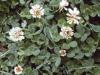 clover-white-01.jpg
