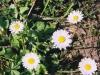 daisy-01.jpg