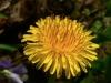 dandelion-flower-01.jpg