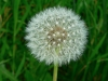 dandilion-seed-01.jpg