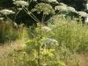 giant-hogweed-01.jpg