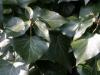 ivy-01.jpg