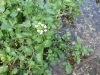 watercress-01.jpg