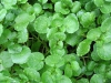 watercress-02.jpg